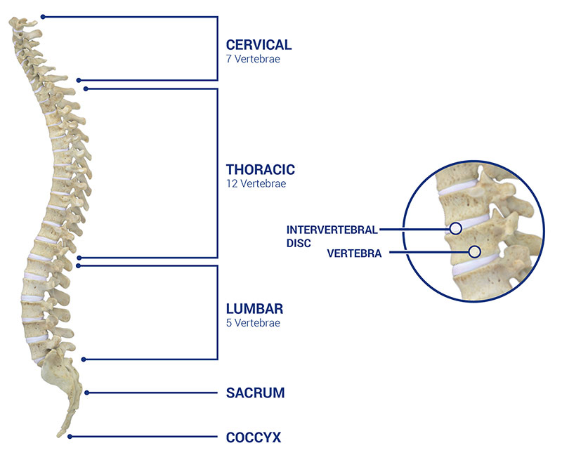Medacta Corporate Spinal Anatomy